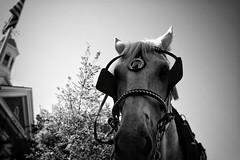 Dissension (Kevin LaCamera) Tags: blinders leicamptyp240 leica coldblood cob saddle cinch chestnut carriagehorse ears mane reins boast bridle bit gelding mare conformation carriage flag noir bw usa america smalltown equestrian horse littledoglaughednoiret