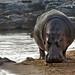 Hippo at Retima Hippo Pool 10-5