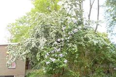 Et vous ne sentez pas l'odeur! (Rumskedi) Tags: flore monde europe belgique ndda lilas aubpine ndda12052016