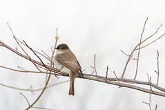 2016 Eastern Phoebe 2 (DrLensCap) Tags: county railroad chicago abandoned robert animal forest way mammal spur illinois woods pacific district union cook trails right il trail phoebe rails to predator eastern preserve kramer weber preserves labagh
