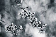 Sakura blossom (Thelma Gatuzzo (off the air)) Tags: wild bw bird nature monochrome fauna flora blossom sopaulo natureza sakura silvestre brasileiros 2016 camposdojordo mantiqueira serradamantiqueira thelmagatuzzophotography thelmagatuzzo
