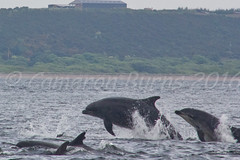 Bottlenose Dolphins (IMG_9512) (Cameron Burns) Tags: uk sea wild playing nature water beauty animals digital canon point mammal eos scotland jumping pod marine europe play outdoor wildlife tail hunting free scottish dolphins seals juvenile canoneos flipper marinemammal playfulness leaping breaching moray inverness rosemarkie blackisle chanonry bottlenose morayfirth dorsalfin cetacean 2016 bottlenosedolphin tursiopstruncatus fortrose rossshire chanonrypoint highlandsandislands 550d canon550d canoneos550d