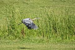 With His Shadow (brev99) Tags: park bird ngc greatblueheron bif birdinflight d7100 ononesoftware nikviveza topazdenoise tamron70300vc highqualityanimals perfecteffects10