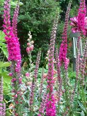 "Veronica ""Red Fox"" (Bury Gardener) Tags: red plant flower garden veronica fox perennial"