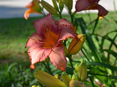 Next Dance (BKHagar *Kim*) Tags: flowers plants flower nature yard garden al lily blossom alabama moms lilies bloom tanner bkhagar
