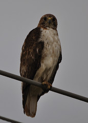 Red-tailed Hawk - Buteo jamaicensis (kttyhwkr (Might Delete Soon)) Tags: nature nikon texas raptor wilsoncounty birdofprey redtailedhawk buteojamaicensis lavernia