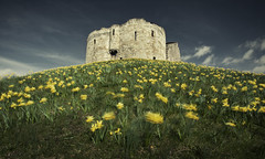 oscillate wildly (james_drury) Tags: york uk flowers blue sky david tower castle english heritage history nature grass yellow star spring ruins angle wind yorkshire hill north wide windy norman filter bailey daffodills keep mound attraction daffodill cliffords polarizing motte sigma1020 festooned explored bcbar