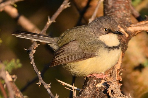 Bar-throated Apalis (Apalis thoracica)
