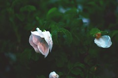 131/365 (Alex May.5) Tags: white flower film rose 35mm dark hope artistic dusk innocence delicate pure hopeless purity 365dayproject ethereality