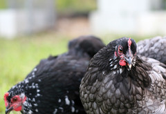 Busy bantams - Ebony & Michonne (Missi) Tags: pet bird chicken young juvenile cochin bantam 50mm18