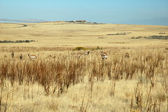 14 - Pronghorns (Scott Shetrone) Tags: animals utah events places antelopeisland mammals 7th pronghorns anniversaries