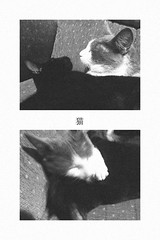 (cat bstt) Tags: chile bw white black blanco cat negro gatos temuco catlady