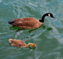 Get your beak wet youngster (JayCass84) Tags: camera summer nature water beautiful animal animals river duck flickr child awesome mother ducks explore motherchild motherandchild natureshots natureshot instagram instagramapp
