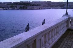 Walking Pidgeons (maltanetworkresources) Tags: nature birds walking malta pidgeons taxbiex
