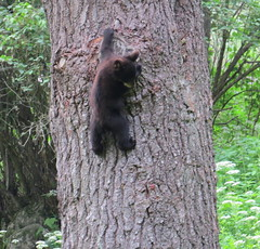 Up a tree (Elizabeth W.K.) Tags: summer june cub newhampshire lyme blackbear