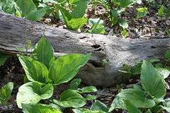 "Fallen tree & Skunk Cabbage • <a style=""font-size:0.8em;"" href=""http://www.flickr.com/photos/92887964@N02/9272141542/"" target=""_blank"">View on Flickr</a>"
