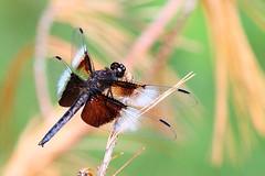 Male widow skimmer (cheryl.rose83) Tags: insect dragonfly widowskimmer skimmer odonata broadmoorwildlifesanctuary