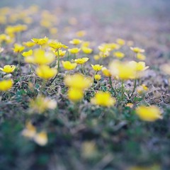 Yellow (_kaochan) Tags: flowers 120 6x6 film square squareformat rolleiflexautomat kodakektar100