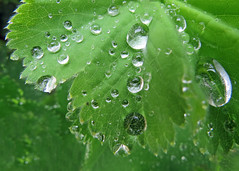 Raindrops (njchow82) Tags: plant macro nature backyard raindrops ladysmantle naturesabstract beautyunnoticed earthnaturelife nancychow canonpowershotsx50hs