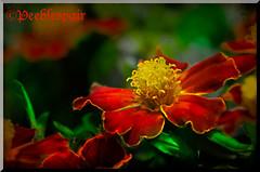 Ye Ardent Marigolds! (Peeblespair) Tags: orange flower yellow ngc vivid lit marigold brilliant keats magicunicornverybest magicunicornmasterpiece peeblespair