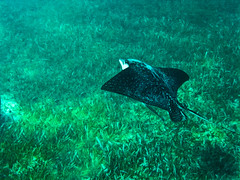 cssCANPICT0068A (chucksmithphoto) Tags: water swimming swim mexico underwater stingray reef rivieramaya quintanaroo swinsuit spottedeagleray
