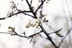 Blossom (B.Jansma) Tags: light white blur flower tree nature netherlands forest canon licht high focus key raw branch blossom bokeh nederland natuur bos wit bloesem tak bloem knoppen 500d knopjes