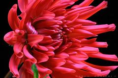 dahlia (marcorenieri) Tags: dahlia colore sole fiore rosso petali nero luce giardino