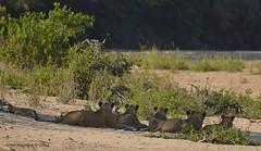 DSC_7912 (Arno Meintjes Wildlife) Tags: africa southafrica wildlife lion safari bigcat predator krugernationalpark krugerpark big5 pantheraleo arnomeintjes