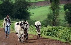 cowboy! ([s e l v i n]) Tags: india man green cow milk cattle walk greenery maharashtra farmer herd igatpuri selvin tringalwadilake walkwithcattle