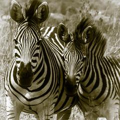 Zebra (johannekekroesbergen) Tags: zebra pretoria groenkloof