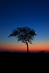 Lone Tree on the Savannah