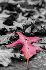 SAM_3817 (samuel masure) Tags: leaf nikon feuille d7000 ppdf32