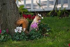 Squirrel with a bonnet. (brev99) Tags: california flowers grass yard squirrel lawn alameda tamron28300xrdiif highqualityanimals