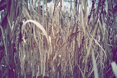 Contingent (vlaslavwenner) Tags: autumn reeds russia ru