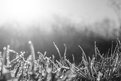 Frost (Thomas Wenz) Tags: morning schnee winter blackandwhite bw sun snow cold ice grass frost dusk gras kalt eis sonnenaufgang thomaswenz