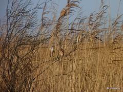 Baardmannetjes (llovmaartje) Tags: brown birds fauna beard vogels lauwersmeer zangvogel panurusbiarmicus rietland baardmannetje langestaart oranjebruin insecteneters jaapdeensgat baardstrepen