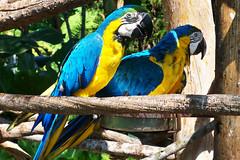 100_2778 (Los Santos Works) Tags: blue bird nature beautiful birds animal animals yellow azul amazing turquoise cyan parrot amarillo ave pajaros pajaro macaw parrots guacamaya macaws