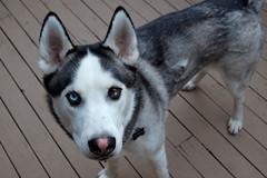 (steen182) Tags: dog husky siberianhusky