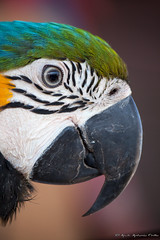 Profilo Colorato (Fotarh Cirillo) Tags: canon eos uccelli antonio colori pappagallo animali cirillo 500d profilo 55250mm fotarch