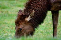 Roosevelt elk female (Cervus canadensis roosevelti) (Camden S. Bruner) Tags: california park ca female roosevelt national redwood elk canadensis cervus roosevelti