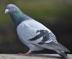 Rock Dove/Feral Pigeon.-Columba Livia (Zooman2009) Tags: pigeon