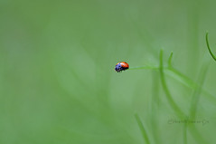 The forest of the ladybug #2 (Celeste Messina) Tags: verde green nature focus natura ladybug 90mm coccinella