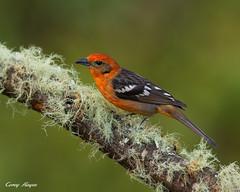flame-colourd-tanager (Corey Hayes) Tags: red wild bird nature birds canon costarica birding jungle coreyha