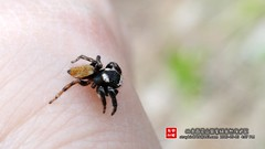 Evarcha sp. () Tags: animal spider beijing   unidentified  araneae salticidae  baihuashan