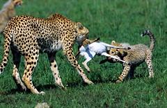guepard masai dec 06144 (Olivier DARMON) Tags: kenya lion mara giraffe elephants animaux afrique leopards gnous msai guepards zébres
