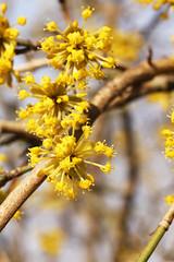 Cornus mas (gripspix (OFF)) Tags: nature yellow natur gelb bloom blüte cornusmas hartriegel kornelkirsche europeancornel 20140311