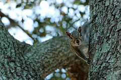 Are you still here? (Karen Kleis (Not at all caught up...)) Tags: trees squirrel wardpar