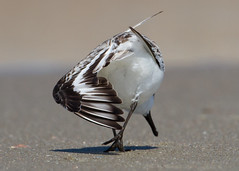 Sanderling by Steve Gifford (Steve Gifford - IN) Tags: bird nature birds georgia photo wildlife south steve picture indiana photograph carolina steven migration gifford haubstadt