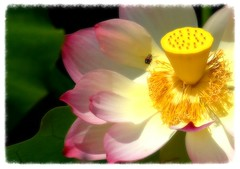 Lotus (Hoa Sen) (lienhp) Tags: nature lotus explore imagepoetry hoasen platinumphoto visiongroup infinestyle