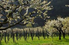 Springtime (r_evolution63) Tags: trees italy tree primavera colors alberi cherry countryside spring europa europe italia orchard campagna albero colori springtime ciliegio veneto frutteto ciliegi provinciadivicenza colliberici lumignano